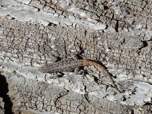 s-1f-Red Tailed Lizard