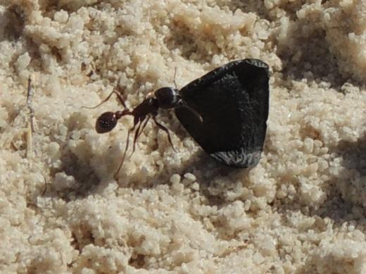 s-1i-Ants
